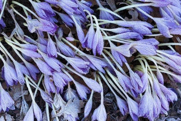 Close up fiori di croco viola appassiti coperti da brina