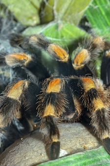 Close up gambe ragno tarantola, brachypelma boehmei