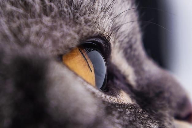 Close up occhio di gatto giallo scuro. serie di gatti a strisce nere.