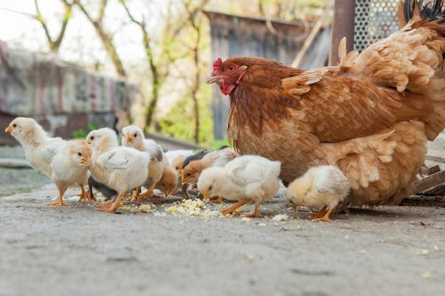 Close up pulcini gialli sul pavimento, belle piccole galline gialle, gruppo di pulcini gialli