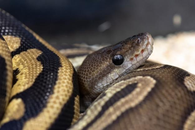 Close up python ball serpente una specie di animale domestico