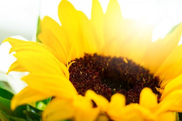 Closeup di bellissimo fiore giallo gerber con bella luce del giorno. orizzontale.