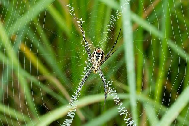 Closeup di ragno sul web