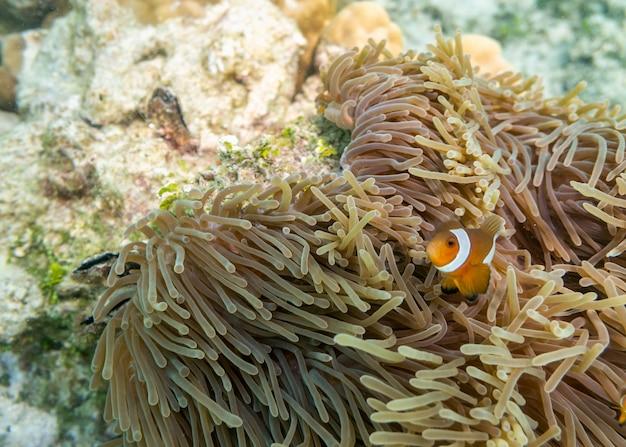 Clownfish che nuota nella barriera corallina