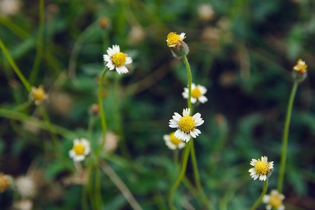 Coatbuttons, margherita messicana, tridax procumbens, asteraceae, margherita selvatica