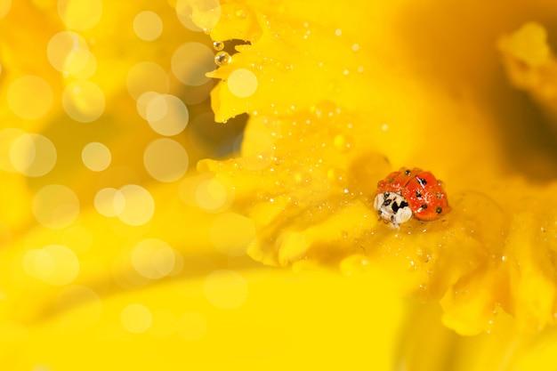 Coccinella su narcisi gialli