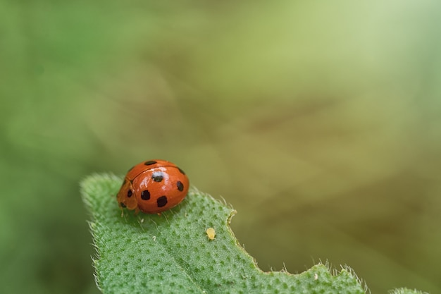 Coccinella sulla natura verde della foglia