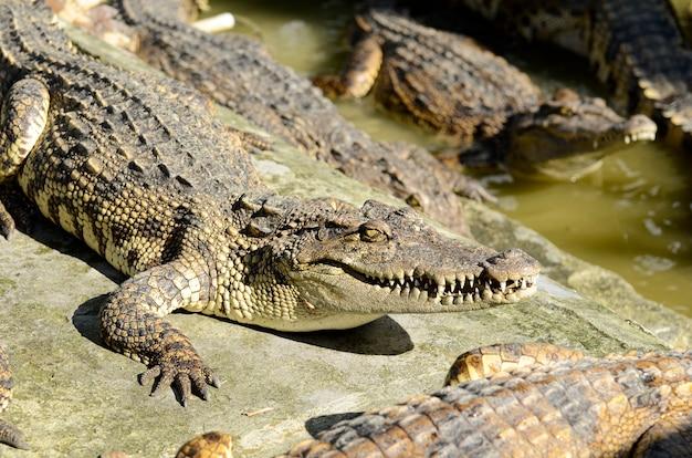 Coccodrillo d'acqua dolce, coccodrillo siamese (crocodylus siamensis)