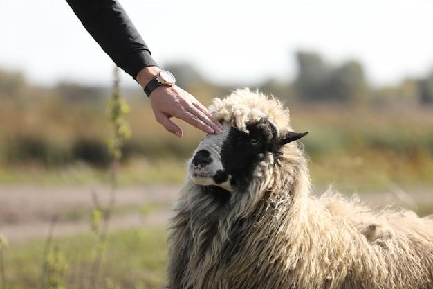 Coccole maschii della mano una pecora amichevole all'aperto nel campo verde. messa a fuoco selettiva