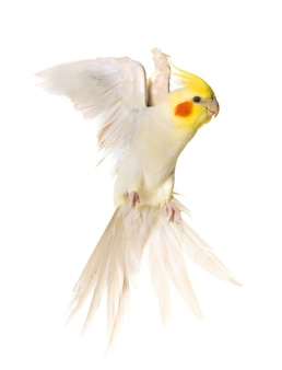 Cockatiel che vola in studio