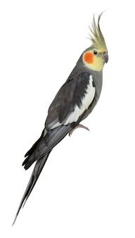 Cockatiel, nymphicus hollandicus, arroccato isolato