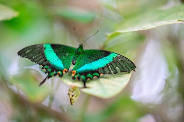 Coda forcuta fasciata verde