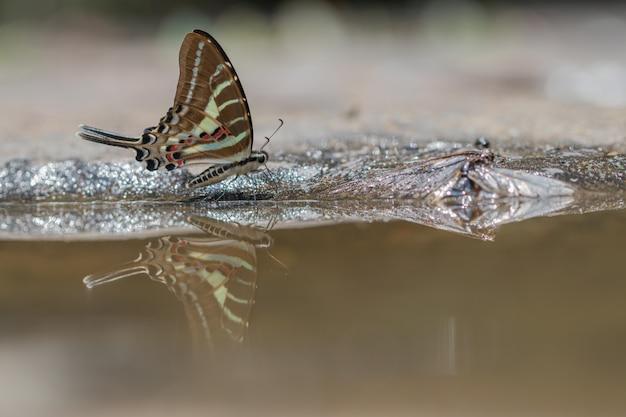 Coda la farfalla di jay che mangia l'acqua nel fondo della natura.