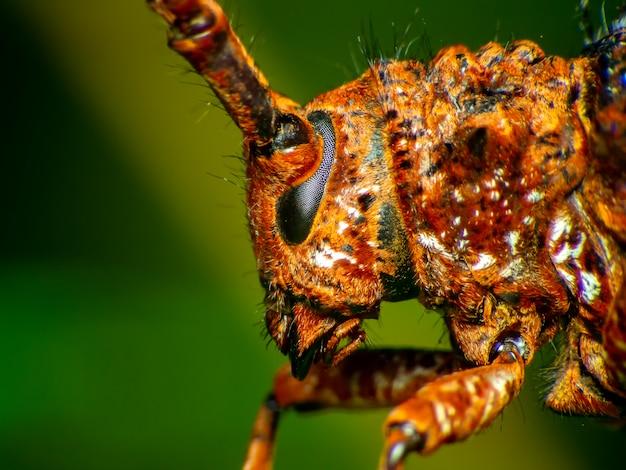 Coleoptera-cerambycidae è una pianta in canna da zucchero
