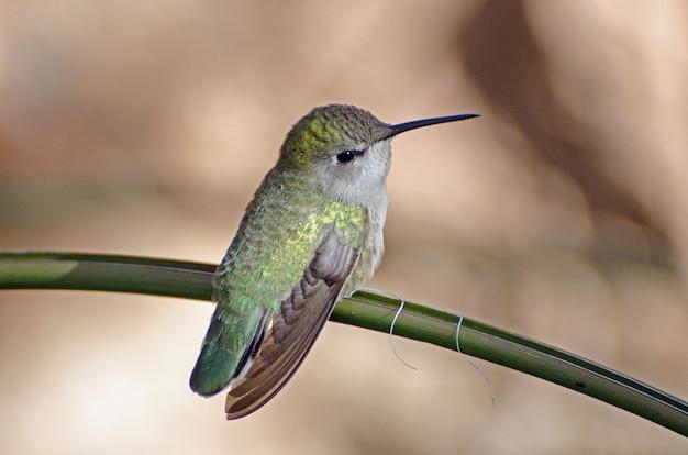 Colibrì femminile iridescente appollaiato su un ramo