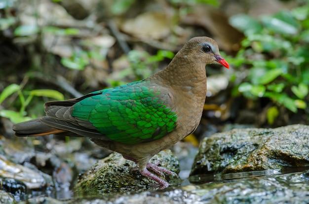 Colomba color smeraldo o piccione verde