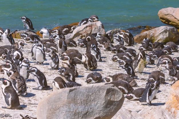 Colonia africana del pinguino nella baia di betty, sudafrica