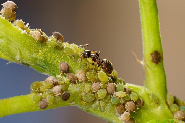 Colonia di afidi e formiche su piante da giardino