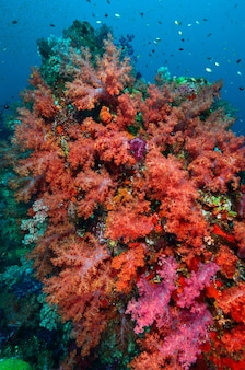 Colonia di corallo molle, isola di similan tailandia