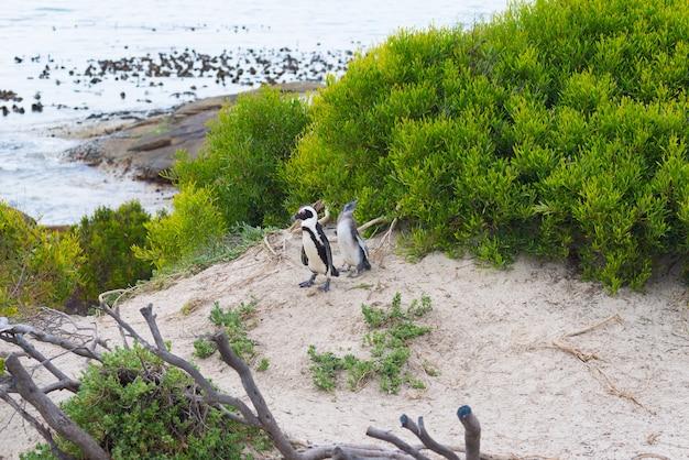 Colonia di pinguini su una spiaggia