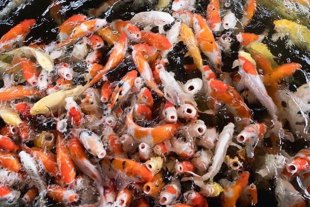 Coloratissimi pesci carpa fantasia, pesce koi