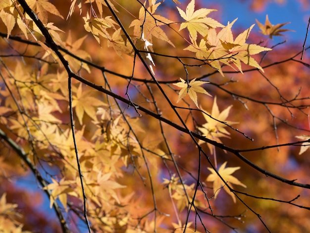 Colorato di foglie in autunno, in giappone