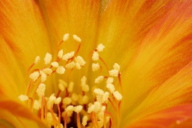 Colore arancione ibrido di lobivia del fiore del cactus di fioritura