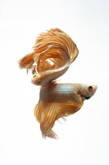 Colore oro giallo del movimento di betta pesce combattente siamese su sfondo bianco