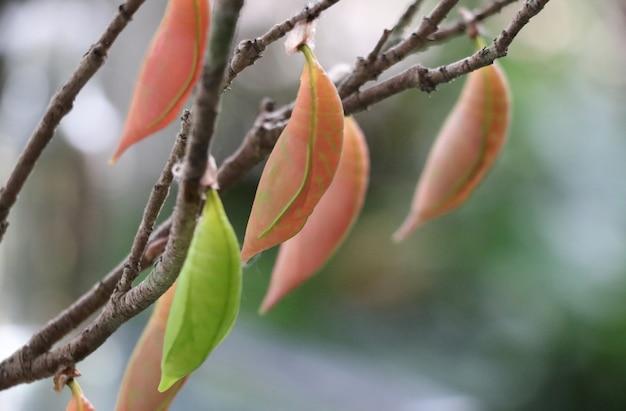 Colore pastello della crisalidi sul brancn dell'albero nei cicli del giardino dell'animale della farfalla