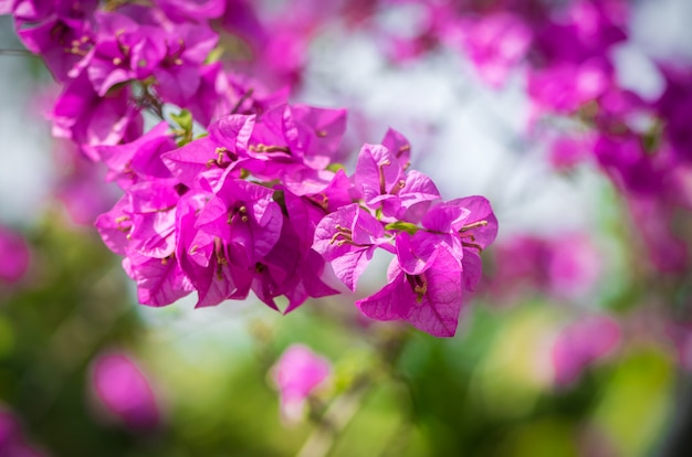 Colore rosa bougainvillea sulla natura bokeh