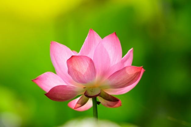 Colore rosa lotus fioritura nello stagno di loto.
