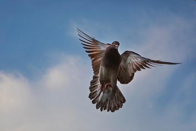 Colore rosso choco del piccione viaggiatore in bilico a mezz'aria contro il bel cielo blu