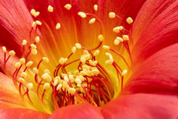 Colore rosso ibrido ibrido di lobivia del fiore di cactus
