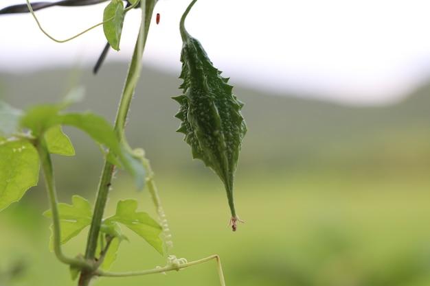Colore verde del cetriolo amaro sull'albero nel fondo della natura