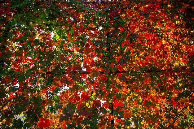 Colori autunnali luminosi foglie colorate di uva ornamentale a giornata di sole.