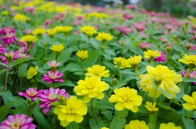 Colourful del giacimento di fiori di zinnia