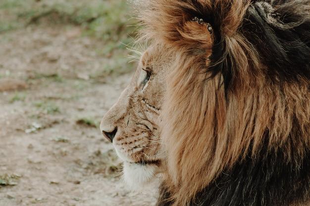 Colpo alto vicino di profilo del leone maschio