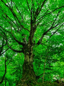 Colpo basso angolo di un bellissimo grande albero alto in una foresta con spesse foglie e rami