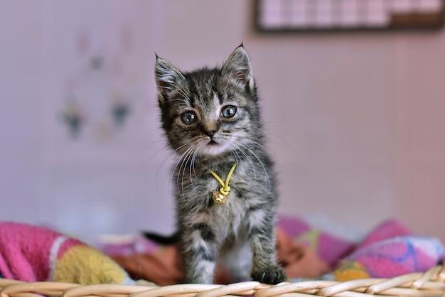 Colpo del fuoco selettivo del primo piano di un gatto dai capelli corti domestico sveglio con un'espressione facciale spaventata