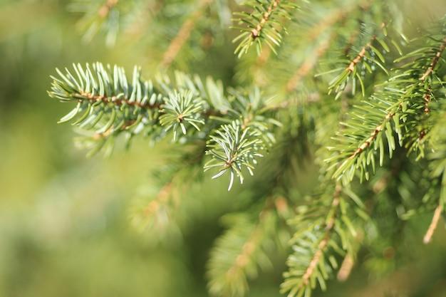 Colpo del primo piano degli aghi dell'albero di pino verde con uno sfocato