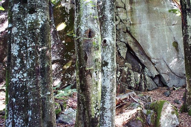 Colpo del primo piano dei licheni bianchi sui tronchi degli alberi