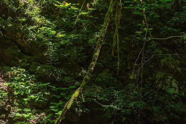 Colpo del primo piano dei rampicanti nella foresta del comune di skrad in croazia