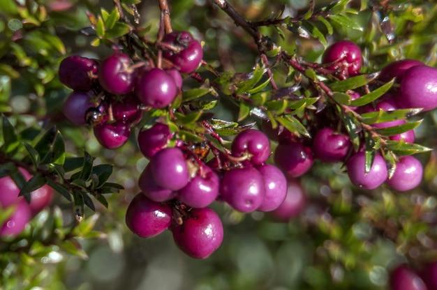 Colpo del primo piano del frutto vaccinium vitis-idea per gli orsi