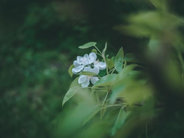 Colpo del primo piano del fuoco selettivo dei fiori bianchi con le foglie verdi