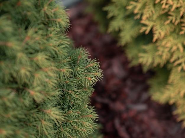 Colpo del primo piano del fuoco selettivo dei rami di pino verdi
