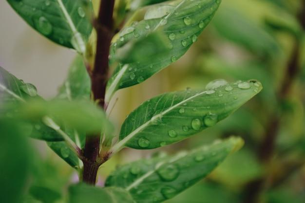 Colpo del primo piano del fuoco selettivo delle gocce di rugiada su una pianta verde
