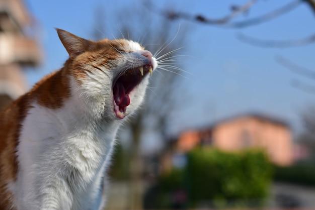 Colpo del primo piano del fuoco selettivo di un gatto dai capelli corti domestico che sbadiglia in un parco