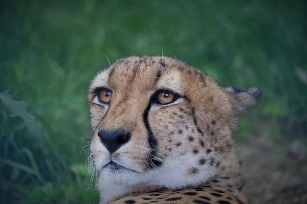Colpo del primo piano del muso di un ghepardo con sfocato