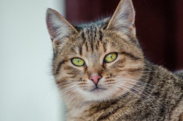 Colpo del primo piano del volto di un bellissimo gatto con gli occhi verdi su uno sfondo sfocato