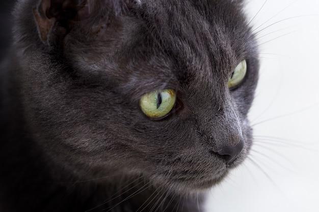 Colpo del primo piano del volto di un gatto grigio carino con gli occhi verdi